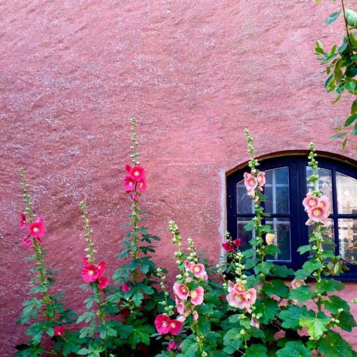 Stockrosor i rött och rosa mot rosa vägg