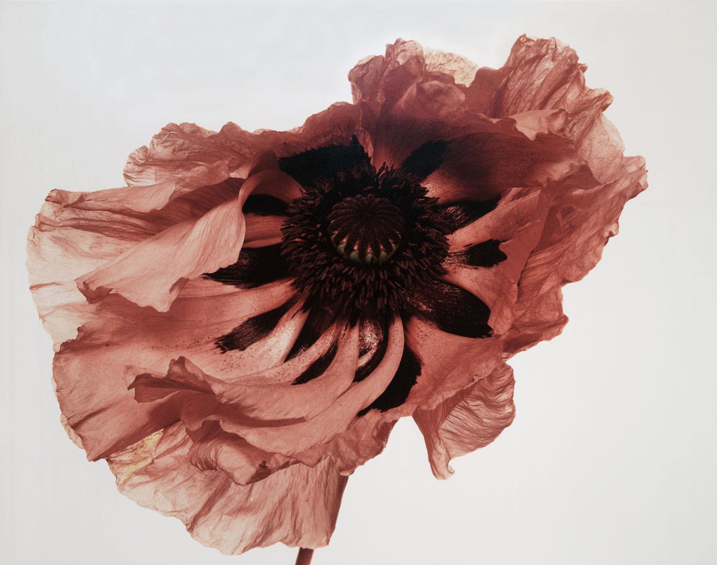 Irving-Penn_Flower_7